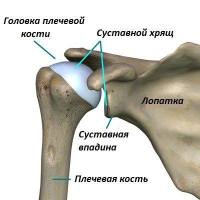 Строение плечевого сустава анатомия, функции