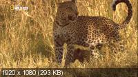 Леопарды дельты Окаванго / Leopards of Dead Tree Island (2010) HDTV 1080i